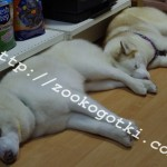 Тахо и Белла отдыхают