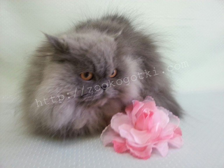 Фото галерея стрижка кошек Коготки